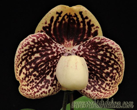 Paph. godefroyae