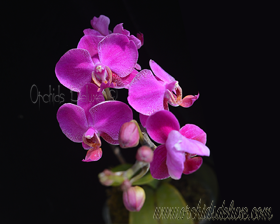 Phal. Queen Barry