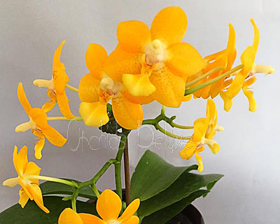 Phal. Meidarland Yellow Ribbon 'MD' LM56 AM/AOS