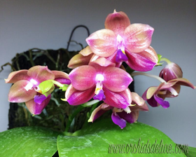 Phal. Yungho Little Baby
